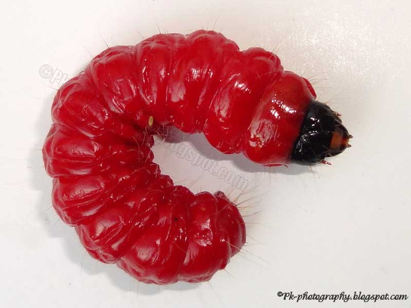Red Caterpillar Nature Cultural And Travel Photography