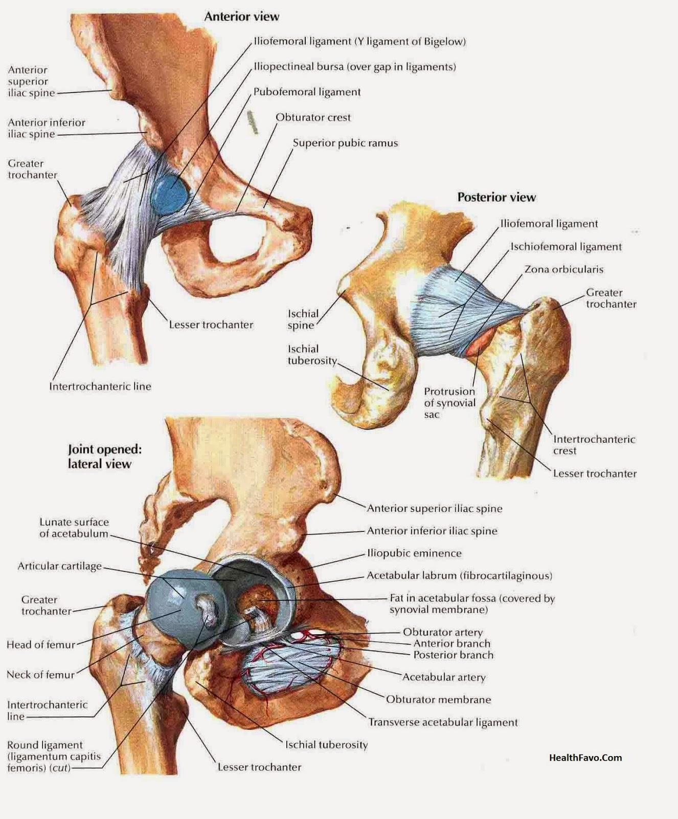 Hip Joint Anatomy Picture Reference And Health News