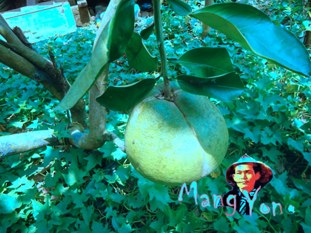 Jeruk Bali yang tua