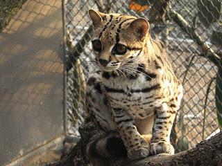kaskus-forum.blogspot.com - Kucing-kucing Paling Imut Paling Langka di Dunia [Penyuka Kucing Masuk!]