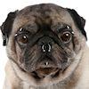 Pierced Pet