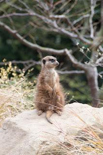 Meerkat photography