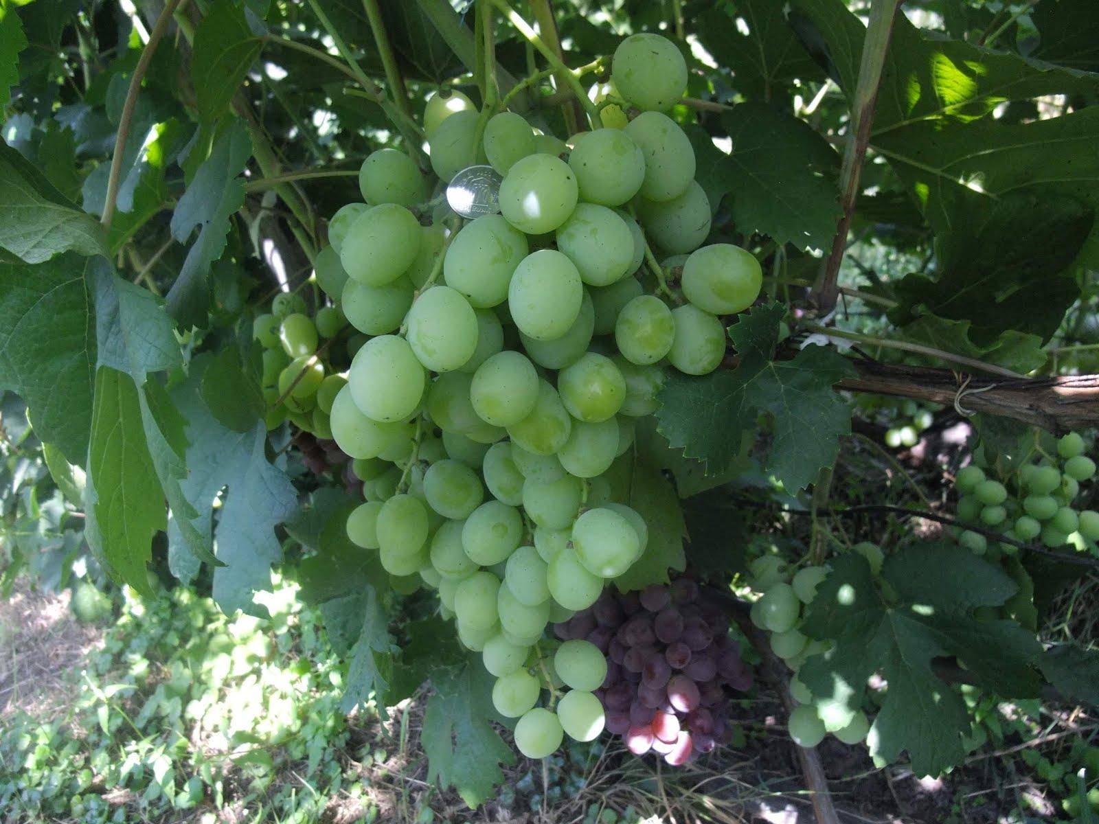 Виноград кишмиш столетие фото