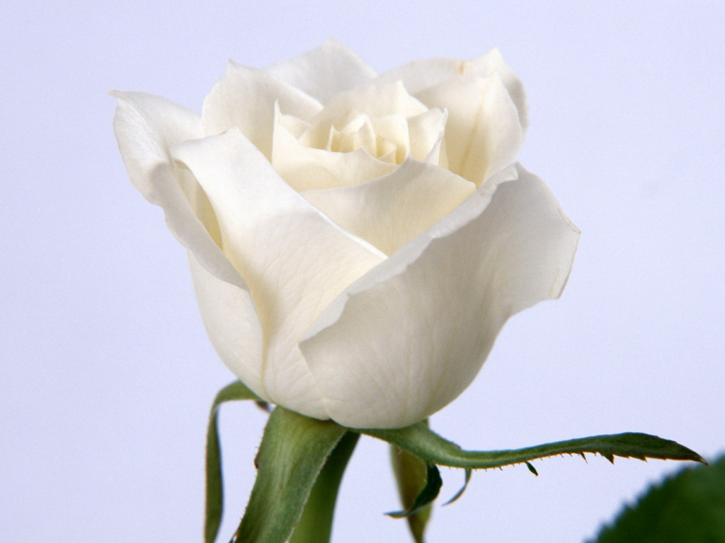Most Beautiful White Flowers........... ~ Big Collection Spot Beautiful White Rose Wallpaper