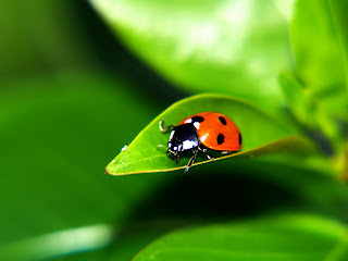 Cute Ladybug Wallpapers