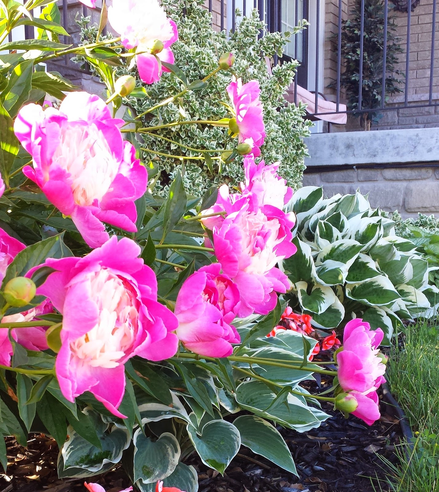 Peony blossoms drooping low to the ground.