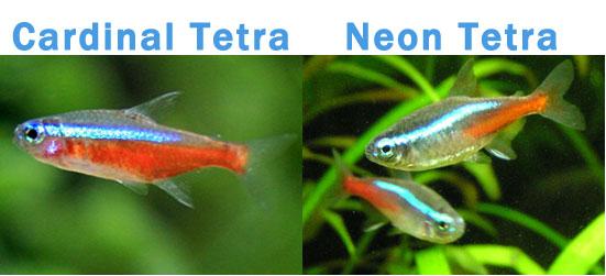 Larger tetra species such as buenos aires tetras, congo tetras ...