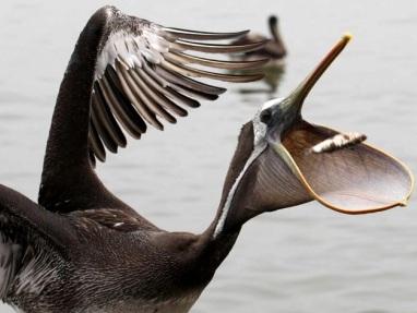 Foto del Pelícano comiendo anchoveta