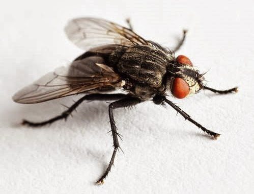 "an overview of the widely known insect the house fly But know that simply including insect-repelling plants in your landscape will not in itself ensure your garden is insect free ""there's repels house flies and mosquitoes plant basil in citronella is a natural oil found in lemongrass, an ornamental that can grow up to 4 feet tall and 3 feet wide in one season."