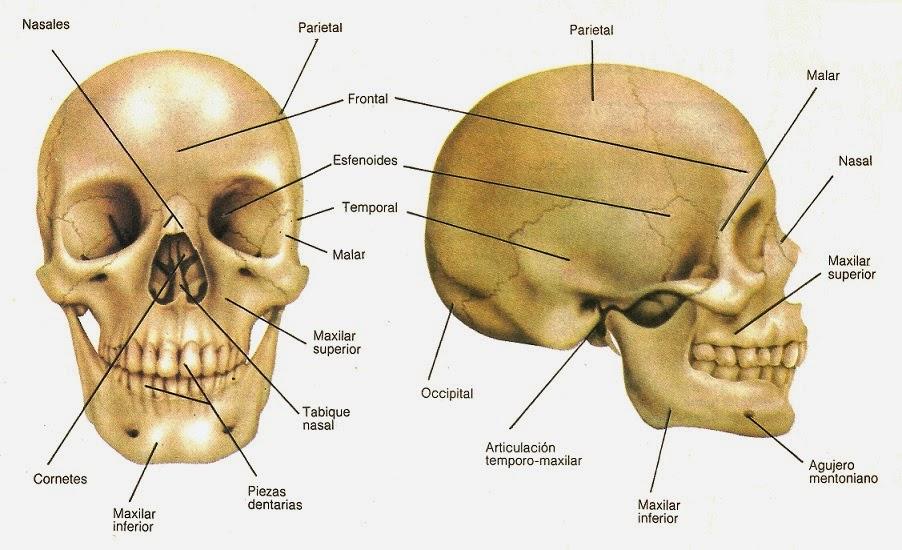 Sistema Oseo humano: noviembre 2014