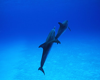 Dolphin_Wallpaper_010