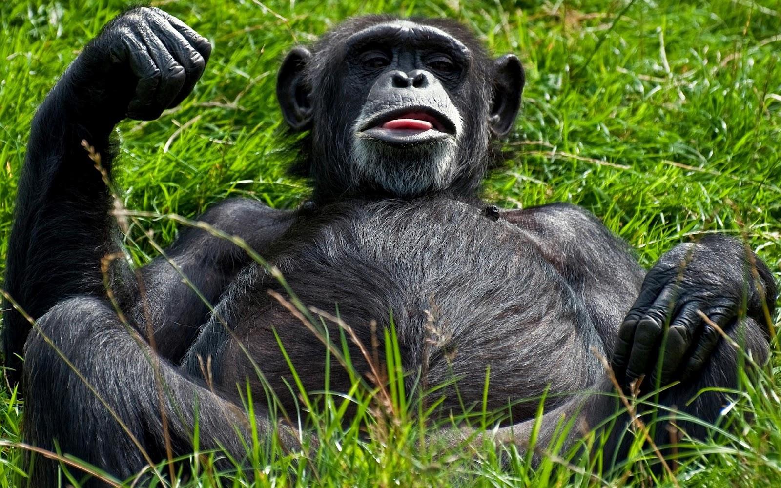 http://3.bp.blogspot.com/-nI_x94WlC3s/UB40RbNwIfI/AAAAAAAAEZM/xUxMdPyiLIc/s1600/hd-apen-achtergrond-met-een-aap-aan-het-relaxen-hd-aap-wallpaper.jpg