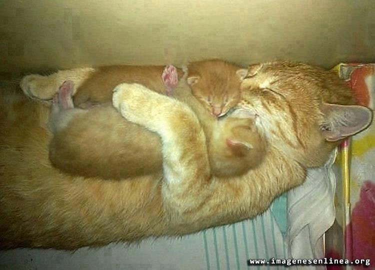 Gata abrazando a sus gatitos, imagenes tiernas para Facebook.En esta imagen vemos el amor que una madre gata le muestra a sus gatitos… los abraza con ternura.