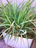 لیمن گراس جھاڑی نماخوشبودار پودا ہے