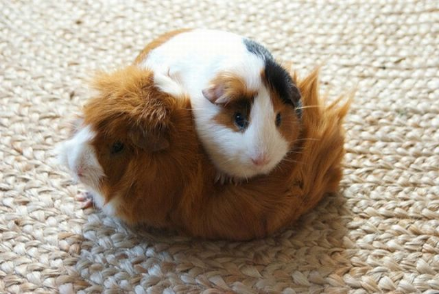 funny animals, two cute guinea pigs