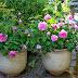 Cara Menanam Bunga Mawar dengan Cangkok