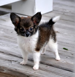 Papillon Puppy Picture