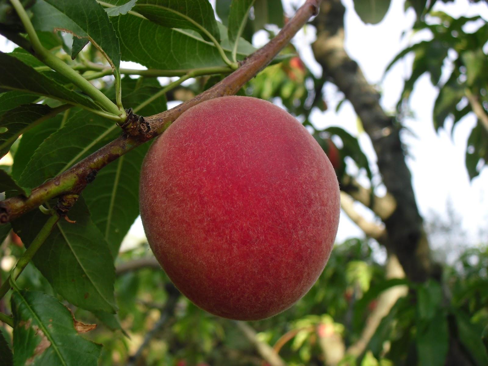 El huerto del lopez junio 2012 for Cuando se podan los arboles frutales