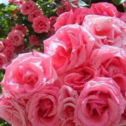 Rosas são rosas!!