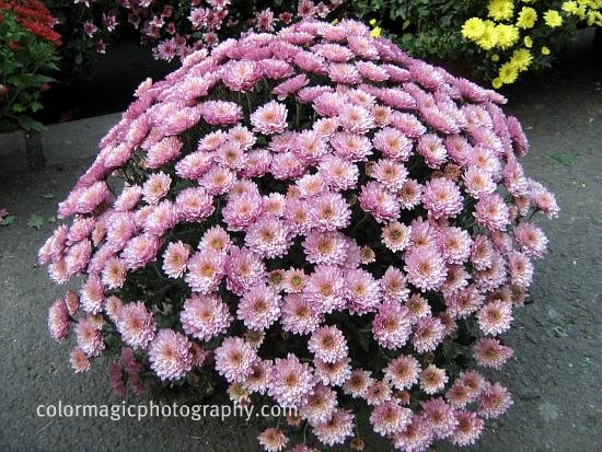Pink chrysanthemum bush