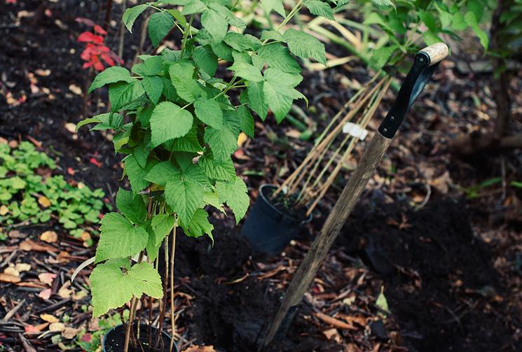 Plantering av hallon