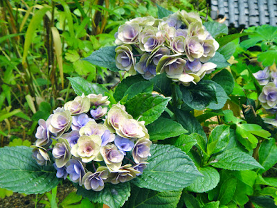Pastel purple and yellow hydrangea at the Garden of Morning Calm South Korea
