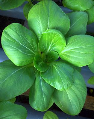 Pak Choi, nft, hidroponik, sayuran, hijau