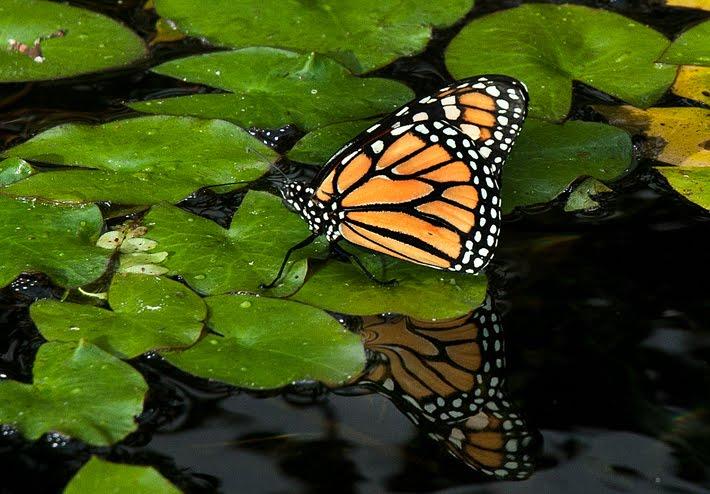 Asian Butterflies Tgp
