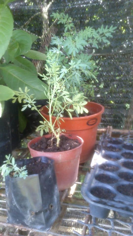 Tanaman Herba Gambar Pokok Herba