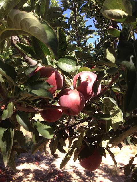 Apple-Annies-Orchard-Willcox