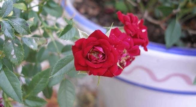 Arte y jardiner a rosales miniatura - Rosales en macetas ...