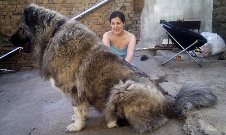 [Image: This+is+a+Caucasian+Mountain+Dog+%28aka+...Dog%29.jpg]
