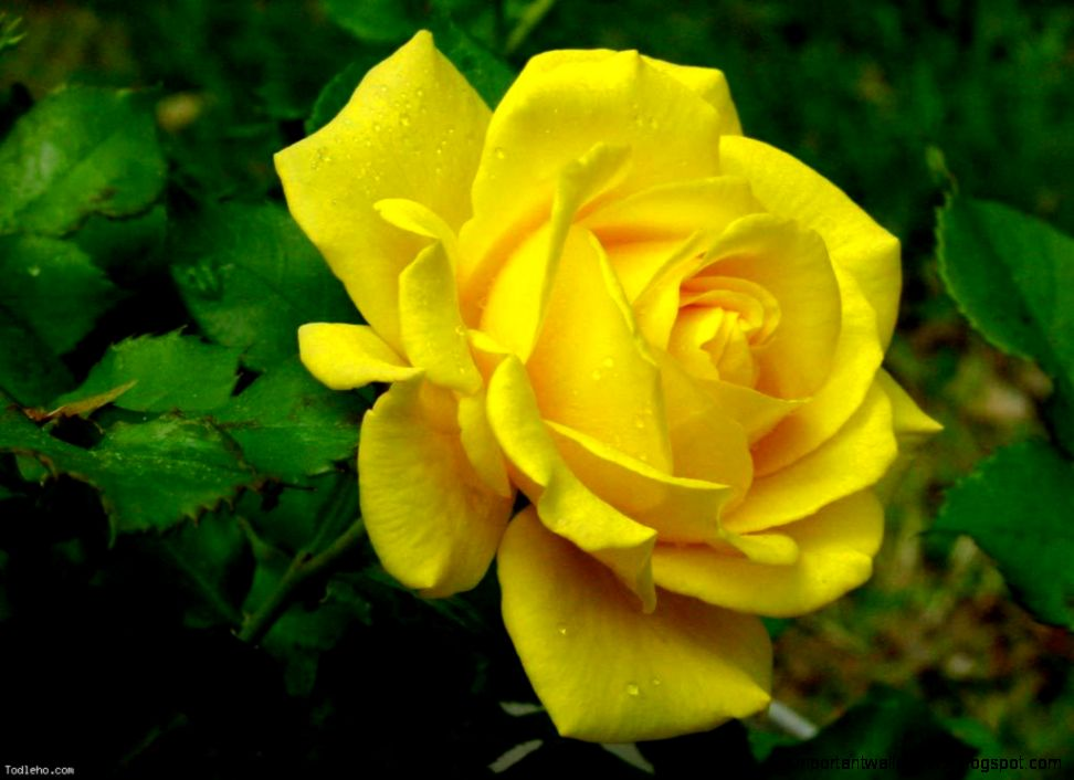 Yellow Animation Rose Flower | Important Wallpapers