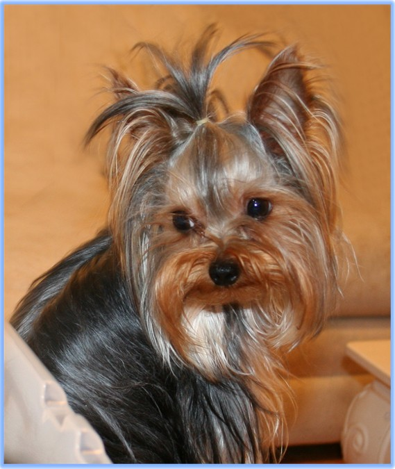 The Dog World Yorkshire Terrier Dogs Breed