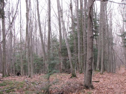 beech hemlock forest