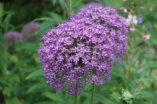 Smukke Allium
