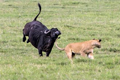 Singa Ini Dapatkan Pelajaran Menyakitkan Saat Berburu