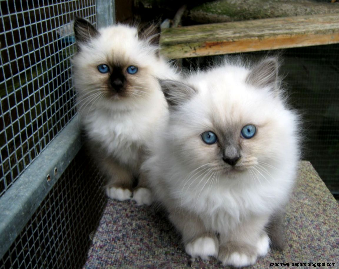 Birman Cat Kittens Awesome Picture 6117