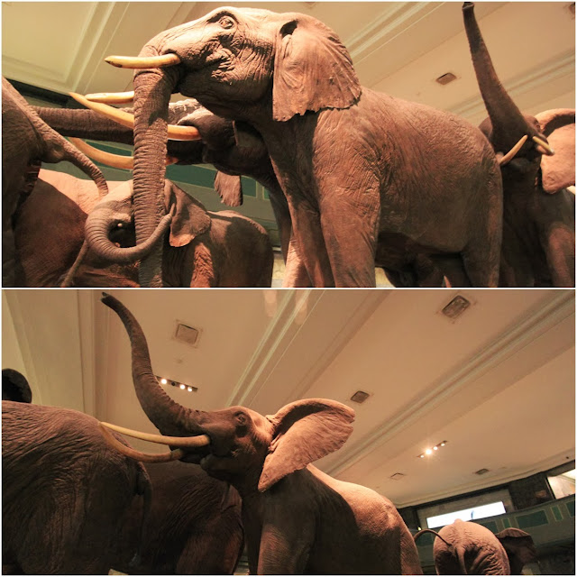 Giant Elephants at the Hall of Mammals at American Museum Natural History in New York City, USA