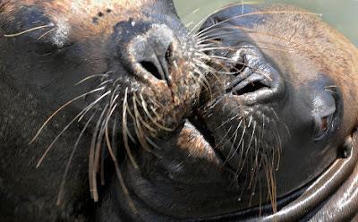 animales-raros-focas