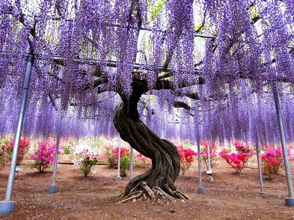 Mail2day 100 years old beautiful wisteria in japan for The wisteria
