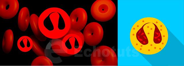 Monosit Sel Darah Putih biologi echotuts