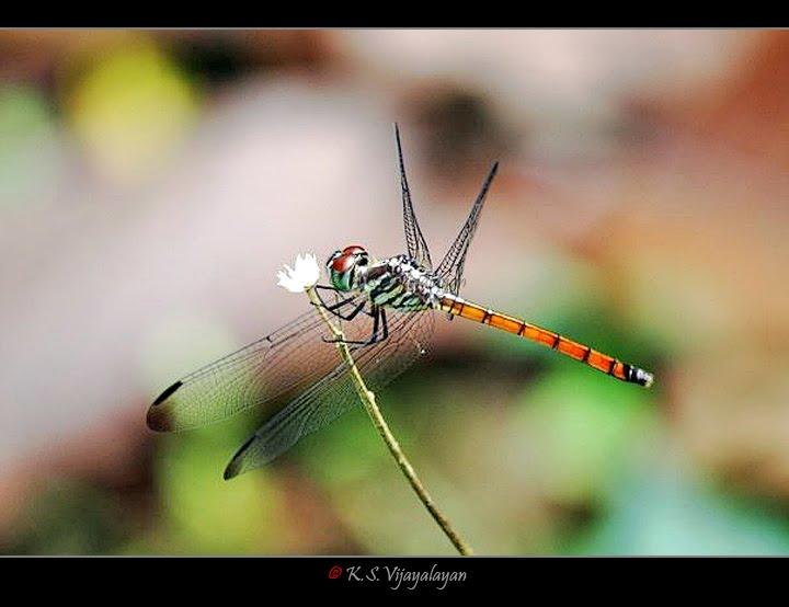 எனது நினைவலைகள் - புட்டான் பிடிச்சது Dragonfly%2B%252811%2529