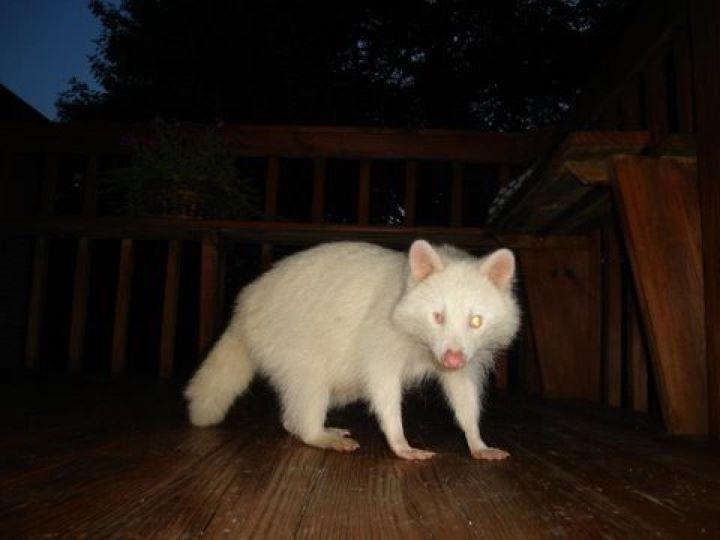 Nature Girl's Habitat: Albino Raccoon Raccoon With No Hair