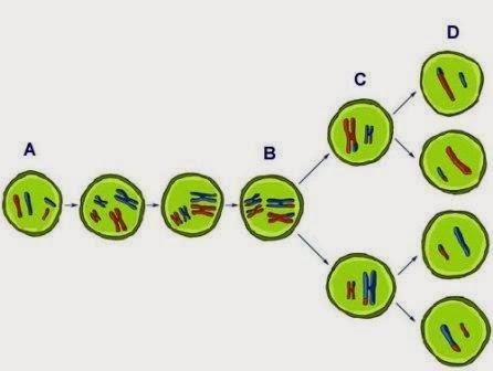 Pengertian Meiosis dan Mitosis