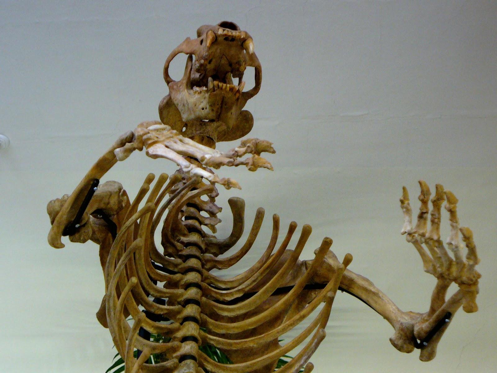 Displaying 18 gt images for black bear skeleton