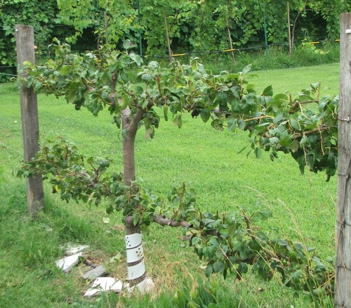 how to grow grapes on a fence