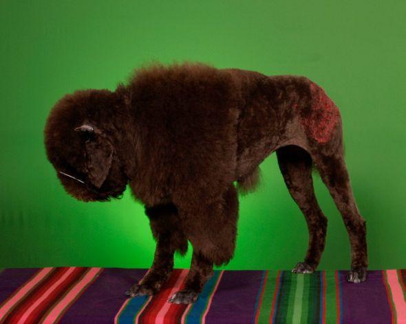 Ren Netherland fotografia animais estimação cães cachorros extreme pets fantasia Búfalo