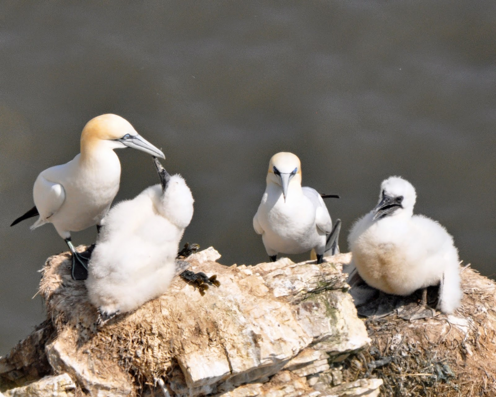 Gannets with Chicks at RSPB Bempton Cliffs