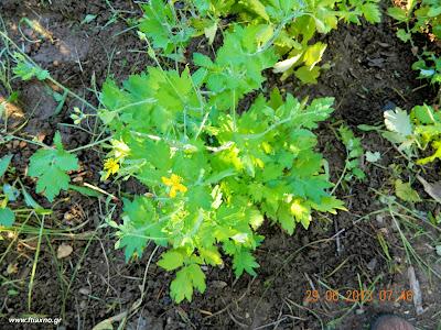 χελιδόνιο φυτό-Chelidonium Majus